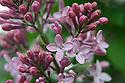 Springtime lilac blooms up close