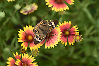 Common Buckeye (Junonia coenia), adult feeding on , Hill Country, Texas, USA