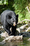 USA, Alaska, black bear walking along the rocks, Wolverine Cove, Redoubt Bay