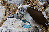 A Blue-footed Booby standng on a whitish rock on its right foot while scratching the  back of its head with its left foot. The Booby has tilted its head almost upside down and twisted it so the back of its head is very apparent.