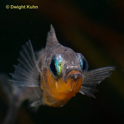 1S14-533z  Male Threespine Stickleback, Mating colors showing bright red belly and blue eyes, close-up of face, Gasterosteus aculeatus,  Hotel Lake British Columbia
