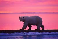 Polar Bear walking along shoreline of Beaufort Sea at sunrise, Arctic National Wildlife Refuge, Alaska.