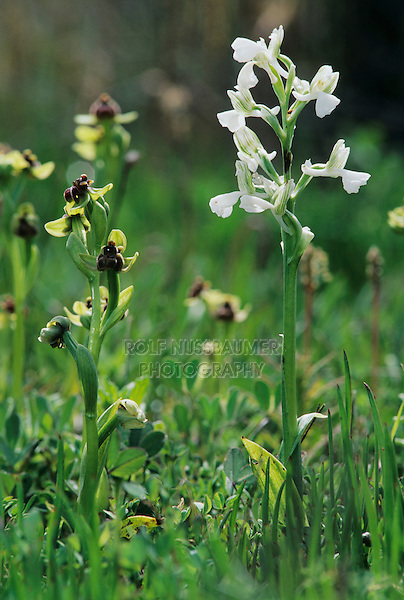 Anatolian Orchid, Orchis anatolica, white variation blooming with Bumblebee Orchid (Ophrys bombyliflora) , Samos, Greek Island, Greece, April 1994