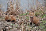 Pair of Kit Red Foxes around their den along side a marsh access road thru the Barnegat saltmarshes , New Jersey