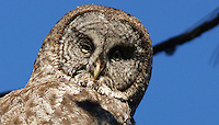 Owl - Great Gray