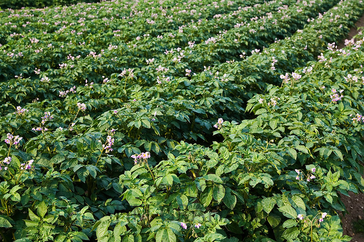 Potato crop grown for sale in supermarkets, near Holkham, United Kingdom