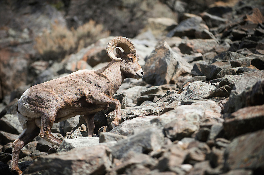 A bighorn sheep navigates a rocky slope above the Yellowstone River north of Gardiner, Montana.