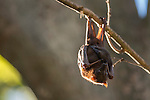 Little Red flying fox carrying her baby roosting and grooming within the camp. The little red flying fox (Pteropus scapulatus) is a species of megabat native to northern and eastern Australia. With a weight of 280–530 grams it is the smallest flying fox in mainland Australia.  It has the widest range of all the species, going much further inland than the larger fruit bats. Its diet primarily consists of nectar and pollen of eucalypt blossoms, the pollination of which it is largely responsible. The little red flying fox is nomadic, and can be found in large groups of up to a million individuals. This species gives birth six months later than the other mainland flying fox species, in April and May.