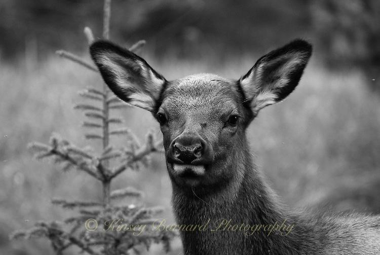 Female/cow elk at Jasper National Park Alberta Canada