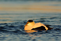 Adult male Common Eider (Somateria mollissima) of the eastern subspecies S. m. dresseri. Gloucester, Massachusettes. March.