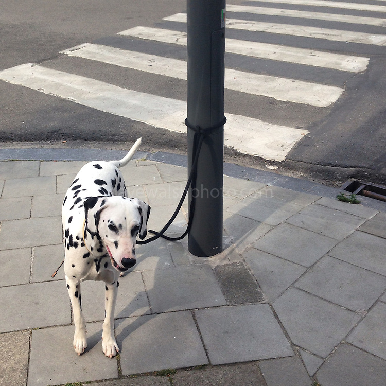 Dalmation and stripes, Brussels