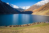 """Italy, Alto Adige - Trentino (South Tyrol), village Vernagt at the end of Valley """"Val Senales"""" (Schnalstal) with Lago di Vernago Reservoir, at background snowcapped summits of Texel Group mountains, herd of goats returning to their shed   Italien, Suedtirol, (Alto Adige - Trentino) das Schnalstal - Seitental des Vinschgau - Dorf Vernagt: am Ende des Schnalstals wird der Schnalser Bach aufgestaut zum Vernagt-Stausee, im Hintergrund die schneebedeckten Gipfel der Texelgruppe - Almabtrieb einer kleinen Ziegenherde"""