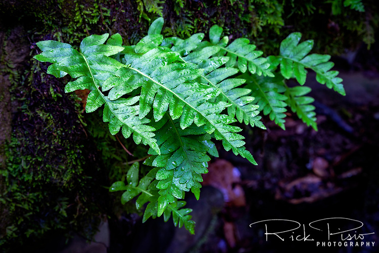 Fern grows from a moss covered rock at Morgan Territory Regional Preserve in California's Contra Costa County.