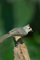 582060019 a wild black-crested tufted titmouse baeolophus atricristatus perches on a mesquite log on a private ranch in the rio grande valley of south texas