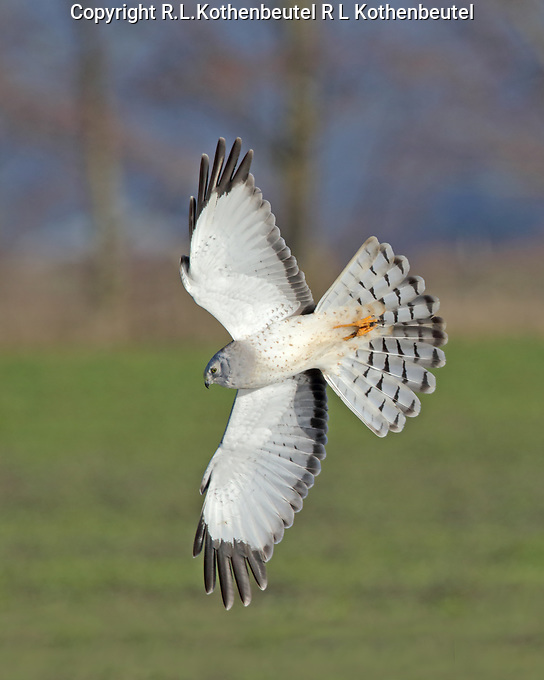 A male northern harrier banks in the early morning sunlight.<br /> 12/31/2017<br /> <br /> Editor's Pick, naturescapes.net 1/4/18