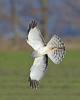 A male northern harrier banks in the early morning sunlight.<br />