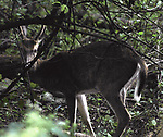 Deer seen in the Esopus Bend Nature Preserve, in Saugerties, NY, on Monday, September 4, 2017. Photo by Jim Peppler. Copyright/Jim Peppler-2017.