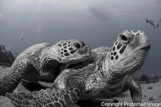 Two green sea turtles at the st anthonys wreck,Maui Hawaii.