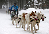 2nd February 2019, Thuringia, Frauenwald, Germany; Sled dog handler Tino Lesser is on the road with his team at a sled dog race. 120 mushers from five nations with their huskies, samoyeds, malamutes or Greenland dogs started.