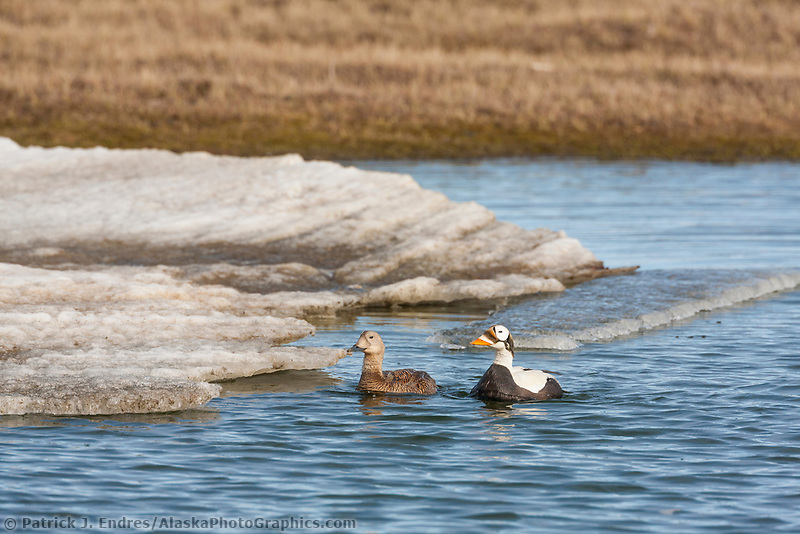 Pair of spectacled eiders swim in a small tundra pond on Alaska's arctic north slope.