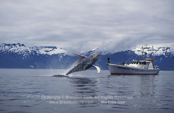 km2108. Humpback Whale (Megaptera novaeangliae) breaching next to pleasure boat. Alaska, USA, Pacific Ocean..Photo Copyright © Brandon Cole. All rights reserved worldwide.  www.brandoncole.com