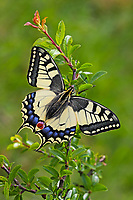 Schwalbenschwanz, Schwalben-Schwanz, Papilio machaon, Old World Swallowtail, common yellow swallowtail, swallowtail, swallow-tail, Le Machaon, Grand porte-queue