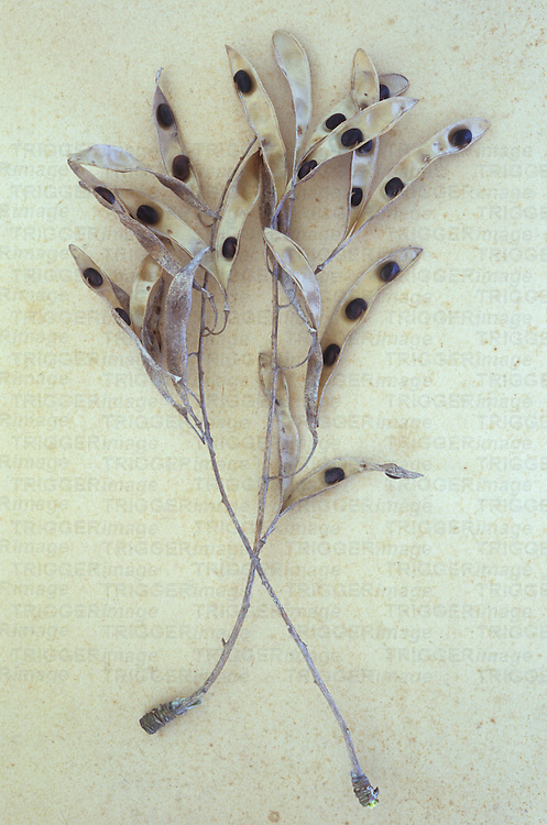 Dried seedpods of Laburnum or Laburnum anagyroides tree lying on antique paper and split open to reveal poisonous seeds