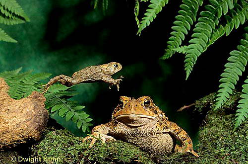 FR17-010x  American Toad - young toad jumping over adult - Anaxyrus americanus, formerly Bufo americanus