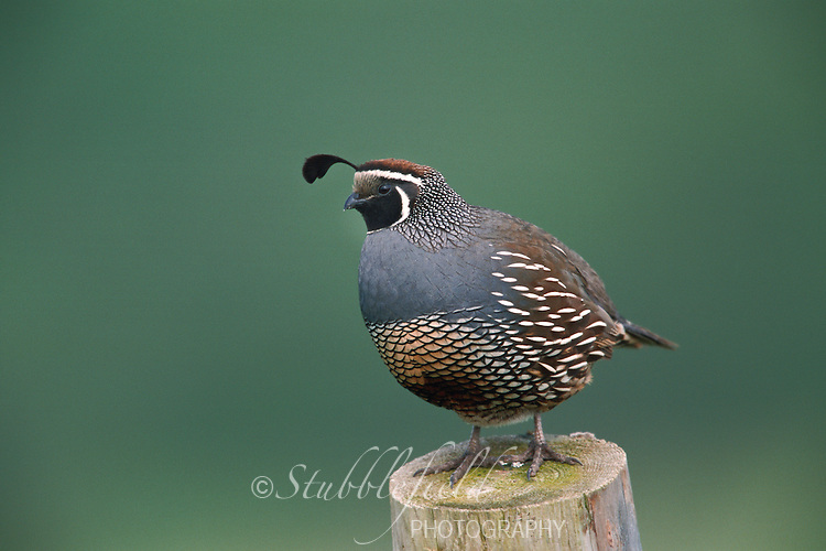California Quail (Callipepla californica brunnescens)