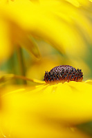 Black-eyed Susan flowers bloom in a residential garden on Three Mile Pond Rd. in Vassalboro, Maine. <br /> <br /> &copy; Michael Forster Rothbart<br /> www.mfrphoto.com <br /> 607-267-4893 o 607-432-5984<br /> 5 Draper St, Oneonta, NY 13820<br /> 86 Three Mile Pond Rd, Vassalboro, ME 04989<br /> info@mfrphoto.com<br /> Photo by: Michael Forster Rothbart<br /> Date: 8/2006    File#:  Canon 20D digital camera frame 4521<br /> -------<br /> Original caption:<br /> Black-eyed Susan flowers bloom in Irene Forster's garden on Three Mile Pond Rd. in Vassalboro, Maine.