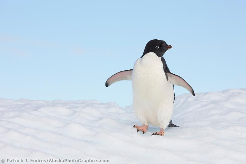 Adelie penguin hauled out on floating icebergs near Paulet Island, Antarctic Peninsula.