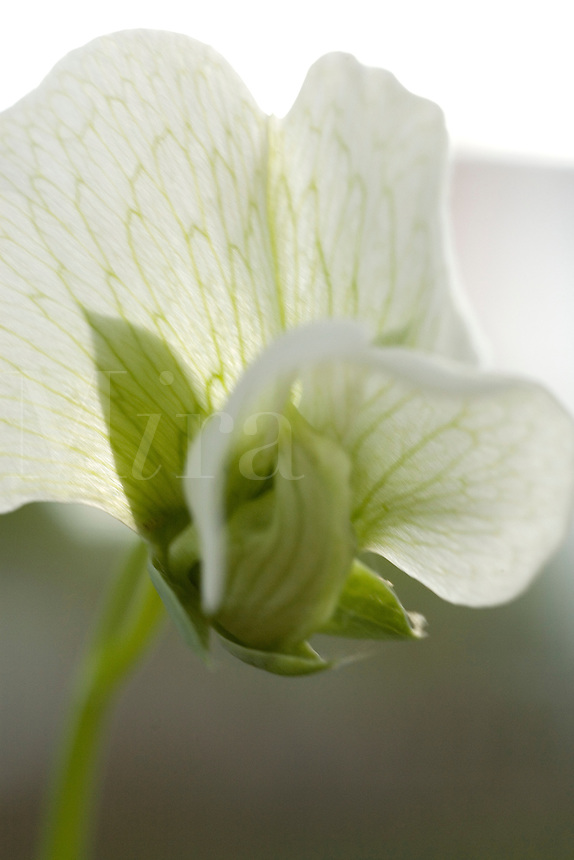 Close up of a green pea flowe