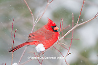 01530-21204 Northern Cardinal (Cardinalis cardinalis) male in winter, Marion Co., IL
