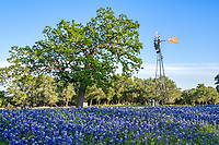 Texas Windmill and Bluebonnets 4-19 - We capture this great field of texa bluebonnets with a wind mill in the background and this nice oak tree for a iconic texas scene.  There are lot of windmills in Texas but finding them in a field of bluebonnets is not as common so we felt lucky.  The Texas hill country has it fair share of windmills but most of the time they are near electric lines, or hidden behind trees are in a state of disrepair from years of storms and high winds not in a field of bluebonnets so today we are lucky.. Today we found a nice one with a few clouds in the blue sky and nice field of wildflowers. This is the iconic Texas landscape scenery in the hill country in spring. If we could of just got a longhorn it would of been perfect.
