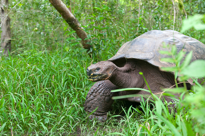 Wild Galapagos tortoise in the highlands of Santa Cruz island, Galapagos Islands, Ecuador.