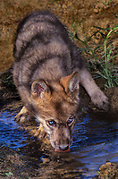 694929043 a captive blue-eyed gray wolf pup canis lupus drinks from a small stream as it watches its surroundings for danger animal is a wildlife rescue species is native to north america and is endangered