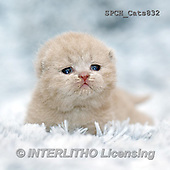 Xavier, ANIMALS, REALISTISCHE TIERE, ANIMALES REALISTICOS, cats, photos+++++,SPCHCATS832,#A#
