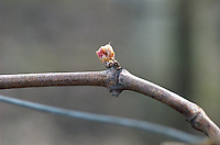 A small leaf bud on a branch of a vine just starting to open in the vineyard of Chateau Latour Pauillac. Pauillac France Médoc Medoc Bordeaux Gironde Aquitaine France Europe spring