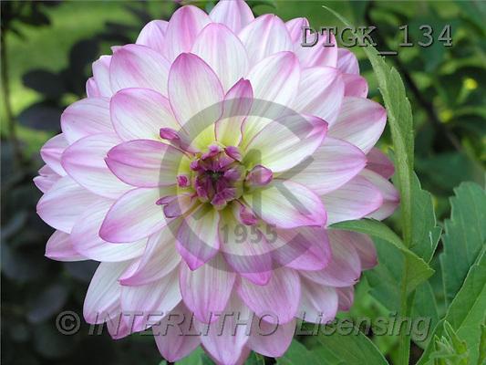 Gisela, FLOWERS, photos(DTGK134,#F#) Blumen, flores, retrato