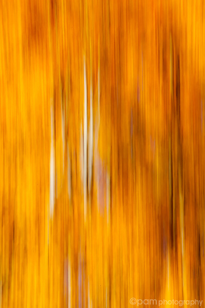 Abstract of yellow and orange Aspen trees