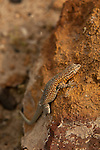 Death Valley lizard warming itself on a rock in the early morning light