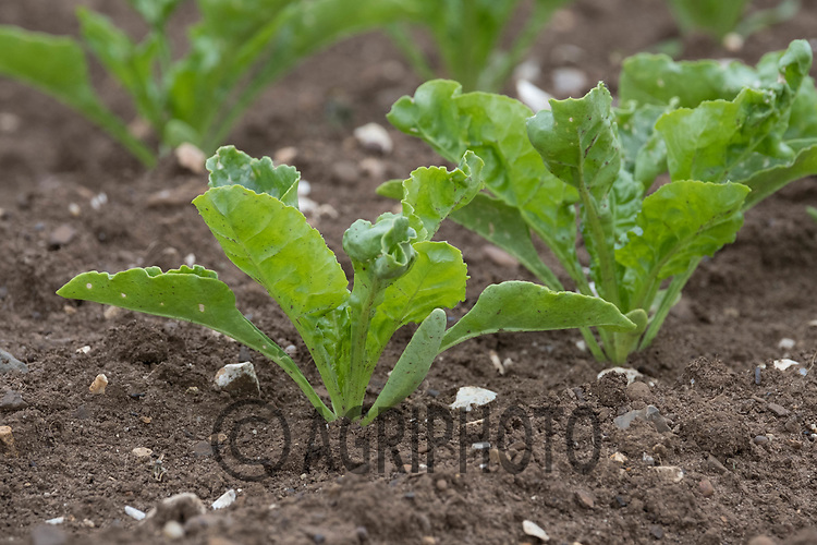 Sugar beet plants<br /> ©Tim Scrivener Photographer 07850 303986<br /> ....Covering Agriculture In The UK....
