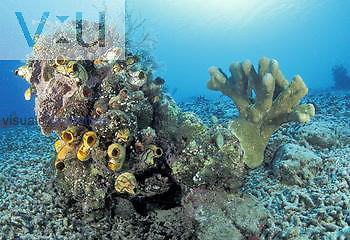 Tunicates and Hard Corals. Indonesia.