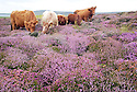 'RSPB deploys cattle to protect birdlife' for The Sun newspaper.