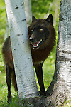 Black wolf looking through birch trees.<br /> <br /> Available sizes:<br /> 12&quot; x 18&quot; print <br /> 12&quot; x 18&quot; canvas gallery wrap<br /> 16&quot; x 24&quot; print<br /> See Pricing page for more information Available as a mousepad or as a greeting card. Also available as a mousepad or greeting cards.
