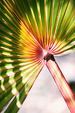 MAURITIUS, Ile aux Aigrettes, detail of a palm leaf called the Blue Latane