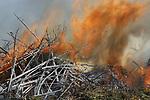 Foto: VidiPhoto<br /> <br /> DODEWAARD &ndash; Op de op een na laatste dag dat er nog gestookt mag worden door boomkwekers, gaat woensdag bij boomkweker Huverba -verspreid over de hele dag- 600 kuub aan bomen de lucht in. Iedere stapel mag niet groter zijn dan 75 kuub, zo is de regel. Daarmee wordt te veel overlast voorkomen. Desondanks rukt de brandweer regelmatig uit na meldingen van passanten. Dit jaar is (opnieuw) vooraf bij zowel brandweer als politie gemeld dat de jaarlijkse boomverbranding zou plaatsvinden, met als gevolg dat de hulpdiensten thuis bleven. Omdat Huverba 700 soorten bomen kweekt is het vuur van woensdag vermoedelijk de meest gevarieerde van ons land. Volgens woordvoerder Jerphaas Rustenhoven van Huverba is dit de meest effici&euml;nte wijze om van overtollige bomen, takken en loofafval af te komen. &ldquo;Je bent met &eacute;&eacute;n aansteker klaar. Hoewel vrijwel alle boomkwekers een goed jaar hebben gedraaid, is dit een afscheidsvuur, geen vreugdevuur.&rdquo; Veel percelen zijn leeggemaakt voor nieuwe aanplant. De onverkoopbare bomen worden verbrand. In veel gemeenten is dat verboden. Omdat Nederbetuwe het laanboomcentrum van Nederland is, krijgen kwekers daar wel een stookvergunning tot 1 juni.