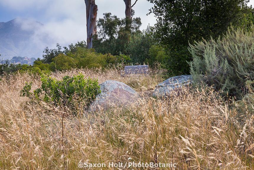 Nassella pulchra, (aka Stipa pulchra), Purple needlegrass - California natives grass meadow in summer-dry garden, Santa Barbara California