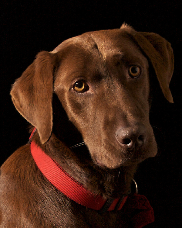 Chocolate lab (KC) portrait over black background.