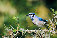 blue jay, Cyanocitta cristata, adult, San Antonio, Texas, USA, North America